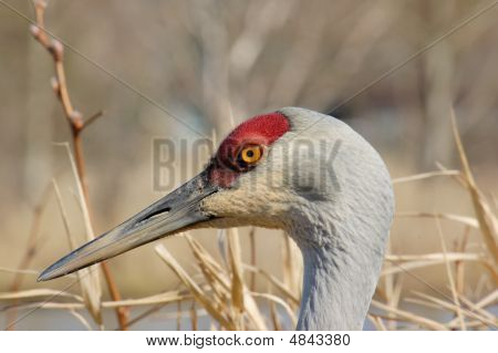 Portrait Of The Sandhill Crane On The Lake