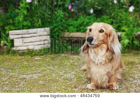 Dachshund  With Long Hair Outdoors