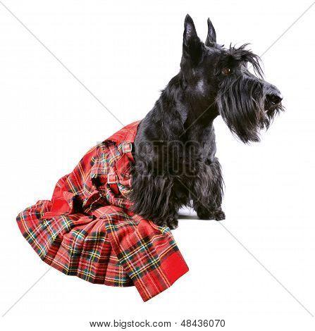 Dog In Kilt