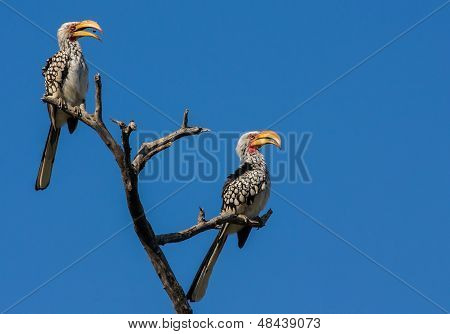 Two Yellow Billed Hornbills Sitting On Branch With Blue Sky