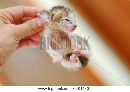 Hanging Newborn Baby Kitten