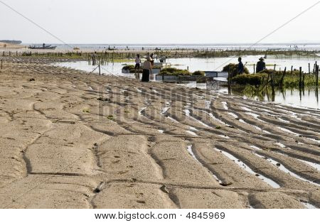 Collector Of Seaweed, Ocean Beach, Outflow, Morning, Indonesia (5)