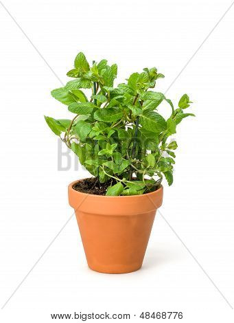 Mint in a clay pot on a white background