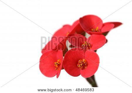 Netherlands Begonia