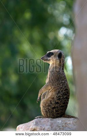 Meerkat (suricata) Sentry