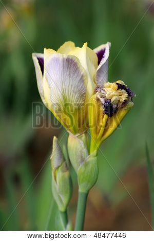 Wild Iris Flowers