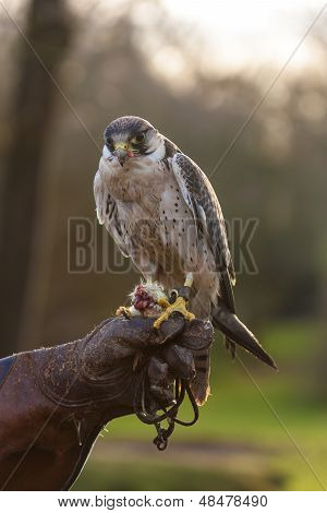 Falcon With Food