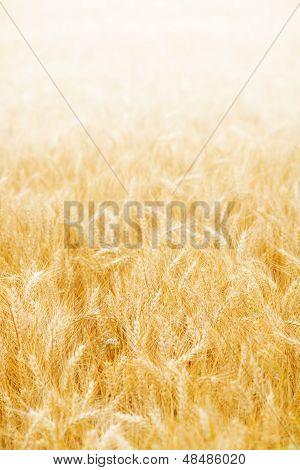 Golden Wheat Background