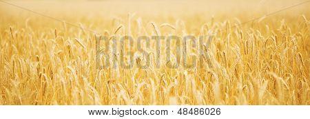 Golden Wheat On The Sunset
