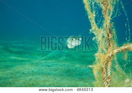 Pufferfish And Ocean