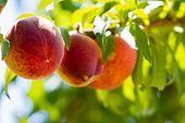 stock photo of peach  - Ripe peaches on the tree ready for harvest - JPG