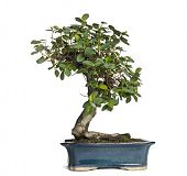 Ficus panda bonsai tree, ficus retusa, isolated on white