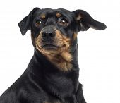 stock photo of jagdterrier  - Close up of a Pinscher and Jagterrier crossbreed - JPG