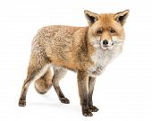 stock photo of arctic fox  - Red Fox - JPG