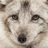Close-up of a Arctic fox, Vulpes lagopus, also known as the white fox, polar fox or snow fox
