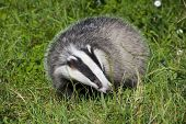 picture of badger  - European badger  - JPG