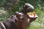 image of hippopotamus  - Hippopotamus with open mouth in the zoo - JPG