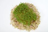 picture of soybean sprouts  - Fresh alfalfa sprouts and cress on white background - JPG