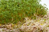 stock photo of soybean sprouts  - Fresh alfalfa sprouts and cress on white background - JPG