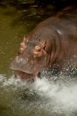 stock photo of hippopotamus  - Hippopotamus drinking water in the zoo - JPG