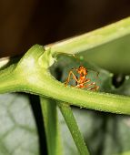 image of fire ant  - Red ants cliaming aand looking at ivy gourd - JPG