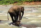 foto of scared baby  - Young Lankesian Elephant (Elephas Maximus Maximus) Balancing on a Stone in Ma Oya River Pinnawela Sri Lanka
