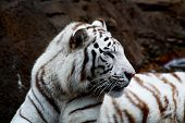 White Tiger Closeup
