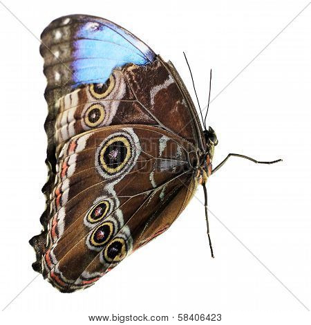 Owl Butterfly Isolated On White