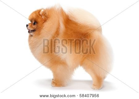 Pomeranian Spitz Purebred
