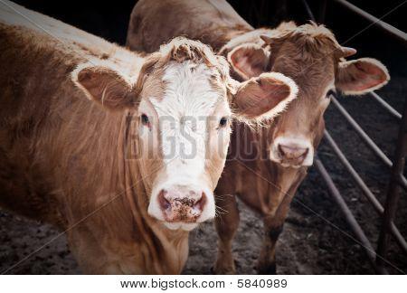 Two Bulls