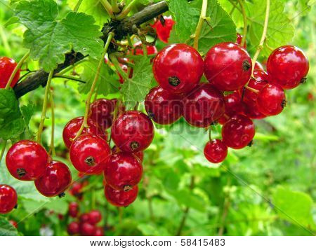 Close-up Of A  Red Currant