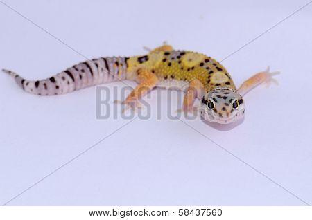 Bell Albino Leopard Gecko (eublepharis Macularius)