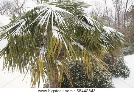 Snow Covered Palm