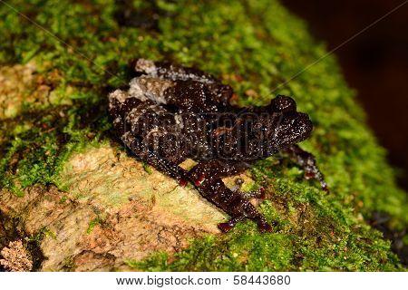 Chantaburi Warted Treefrog (theloderma Stellatom)