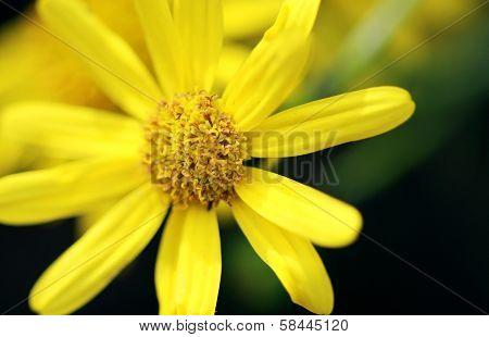 Leopard's-bane Flower