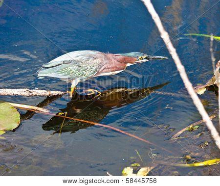 Green Heron hunting in Florida