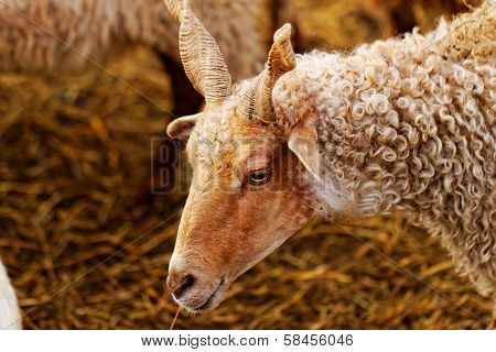 Goats On The Farm
