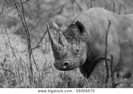 Black Rhino With Large Horn