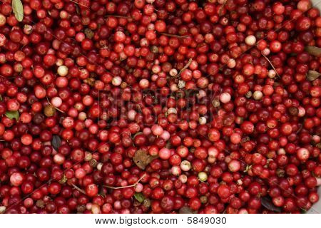 red bilberries