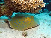 pic of stingray  - A blue spotted stingray  - JPG