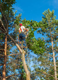 image of arborist  - An Arborist Cutting Down a Tree Piece by Piece - JPG