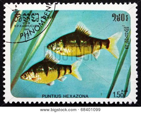 Postage Stamp Cambodia 1985 Six-banded Tiger Barb, Fish