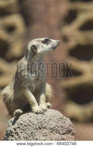 Meerkat On Rock.