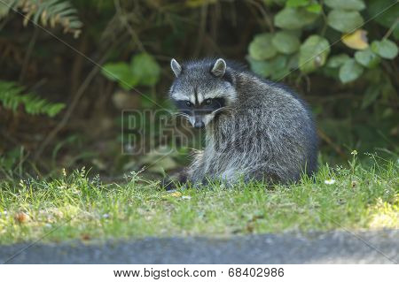 Racoon Looks At Camera.