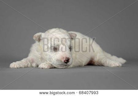 Cute Pure Breed Bichon Frise Puppy