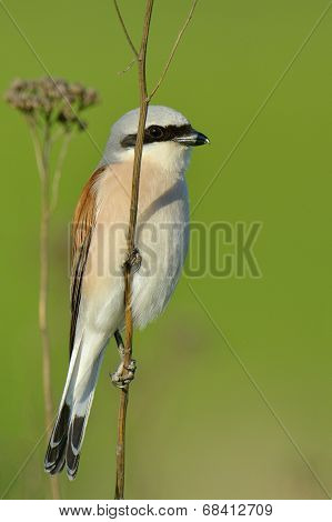 Red-backed Shrike, Lanius Collurio, Single Male Perched On Branch