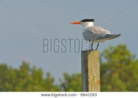 Royal Tern In Chincoteague