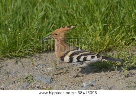 Hoopoe Bird In Natural Habitat (upupa Epops)