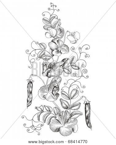 Blooming Peas, hand-drawn illustration.
