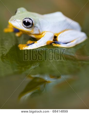Exotic frog in indonesia